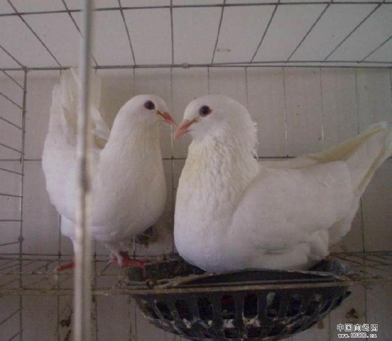 教你如何选择良种肉鸽