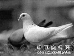 冬季肉鸽三点注意事项