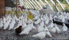 1年养100对肉鸽多少利润?肉鸽养殖前景分析