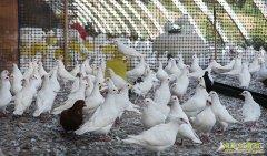养肉鸽赚钱吗:养鸽子多赚钱的秘密