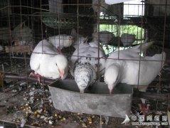 饲养肉鸽谨防四种病