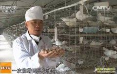 鸽子特战队:湖北广水方军养鸽子赚钱秘籍