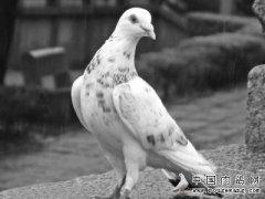 肉鸽养殖效益好 鸽子饲喂管理有方法