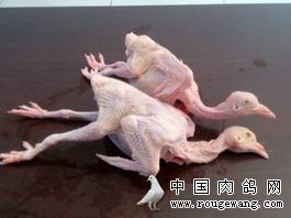 江苏泰州长年大量收购白条乳鸽