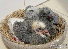 什么是雏鸽?怎样饲养雏鸽?