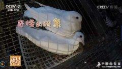 每日农经养鸽视频:有关鸽子和鸽子蛋的秘密