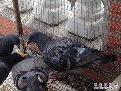 乳鸽黑腹病的症状及防治方法
