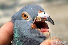 怎样预防和治疗鸽痘
