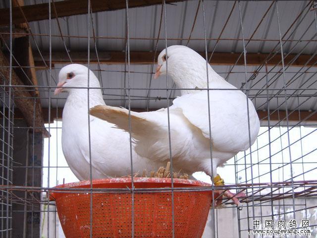 无公害肉鸽养殖技术要点