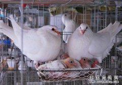 怎样加快肉鸽种鸽换毛速度?