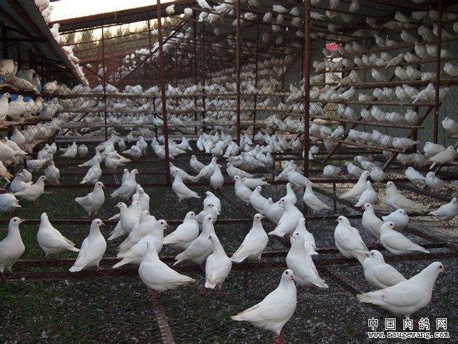 鸽子养殖大棚建设计方案