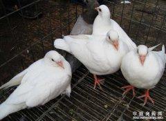 怎样提高乳鸽成活率?