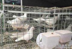 2017年养肉鸽赚钱吗?肉鸽养殖成本与效益分析