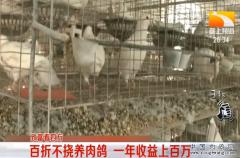 养鸽子赚钱:河北栾城王凯养肉鸽一年收益上百万