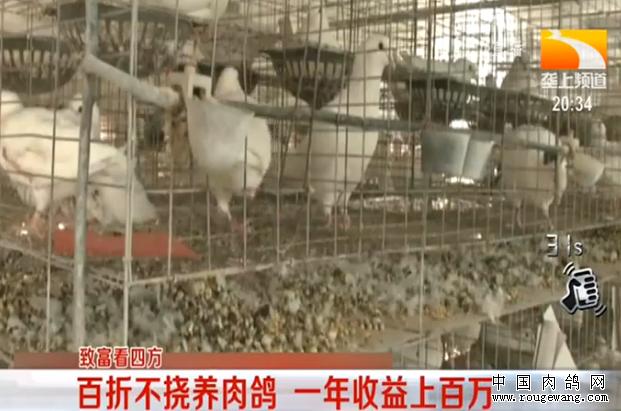 致富好榜样:百折不挠养肉鸽 一年收益上百万
