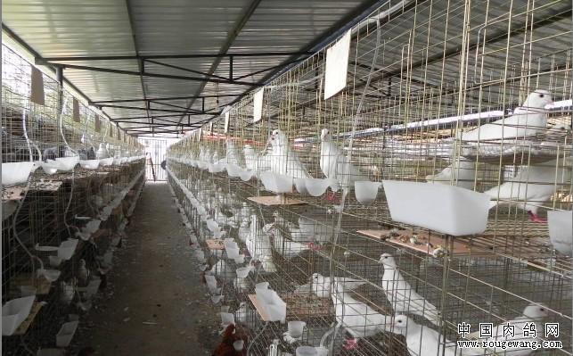 肉鸽产蛋少、产蛋量下降的原因及防控方法