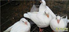 2017年鸽子养殖成本效益分析
