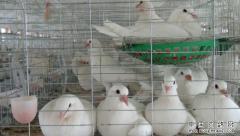 2017年养鸽子效益分析:养殖1000对肉鸽一年能赚多少钱?
