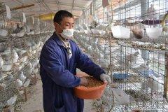 山东巨野县鲁庄村孔秀琴养鸽子年收益10多万