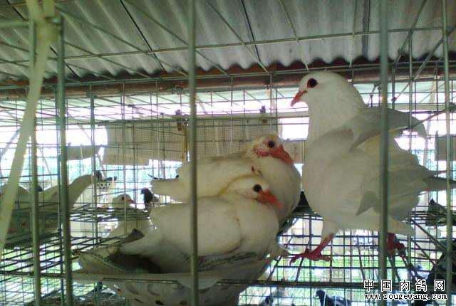 新手养肉鸽需要注意哪些问题?