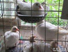 怎样养肉鸽能高产?肉鸽高产养殖的几个技巧