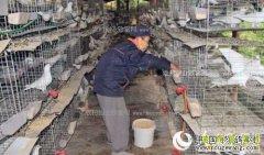 四川巴中冯相全养殖肉鸽年收入7万多元