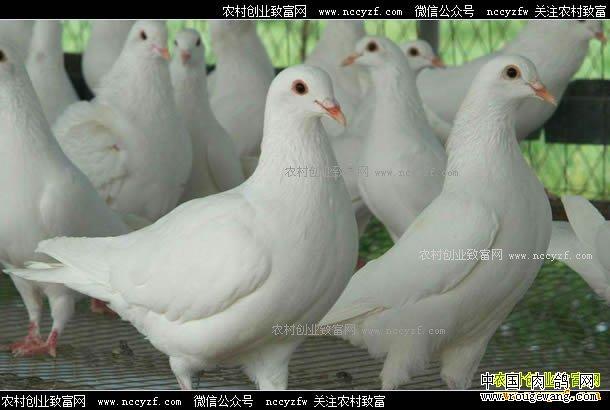 重庆南川肉鸽价格上涨明显