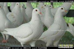 肉鸽价格上涨明显 肉鸽养殖前景好