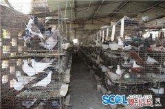 重庆仁寿县黄建琴养鸽子创业月销1500只