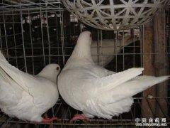 四川巴中市凤梁村冯相全养殖肉鸽年入七万多
