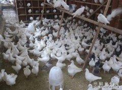 投资肉鸽养殖前需要做哪些准备工作?