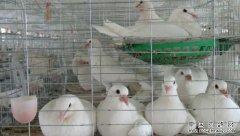 养肉鸽赚钱吗?湖北枣阳李洋洋养肉鸽成大产业