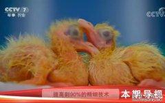科技苑:乳鸽要过生死关 功夫就在前七天