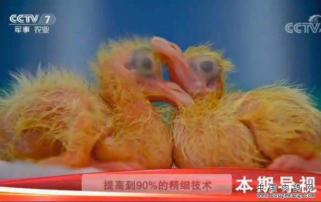 [科技苑]乳鸽要过生死关 功夫就在前七天 20180201
