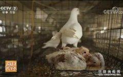 每日农经:赚两份钱的平阳鸽子养殖效益高