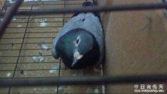 鸽子歪脖子是什么病?鸽子歪脖原因多需对症下药