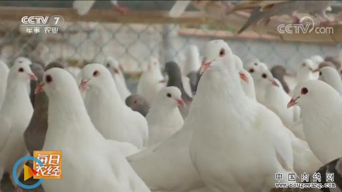 每日农经:飞棚散养肉鸽效益好
