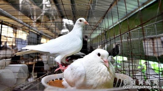 广西南宁余长势返乡养鸽创业青年梦圆家乡
