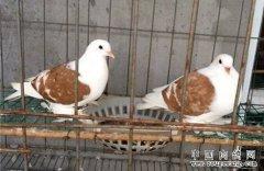 山东茌平县于福旺养殖肉鸽有妙招 人工孵化效益高