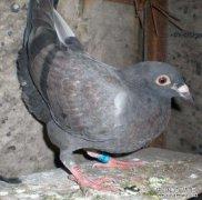 鸽子有哪些常见病?八种鸽病症状及防治方法
