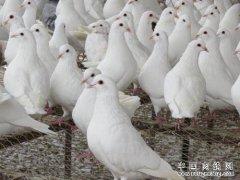 新手养肉鸽需要注意的九个事项