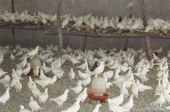 夏季养鸽子需要注意哪些问题?