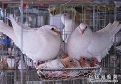 """河南确山""""鸽王""""李银良养肉鸽成了致富""""领头雁"""""""