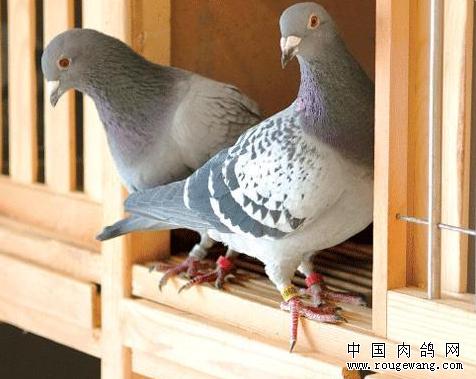 高温下养鸽子要注意的事情